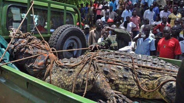 Crocodilo gigante que teria matado quatro pessoas é capturado na Uganda