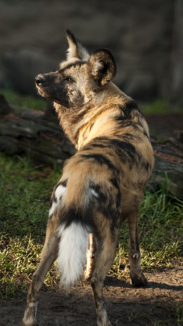 Wild dog, African wild dog, sun, sunny day, predator, fur, wild, green grass