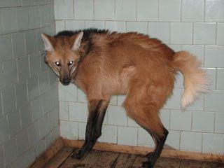 гривистый волк в зоопарке - Поиск в Google
