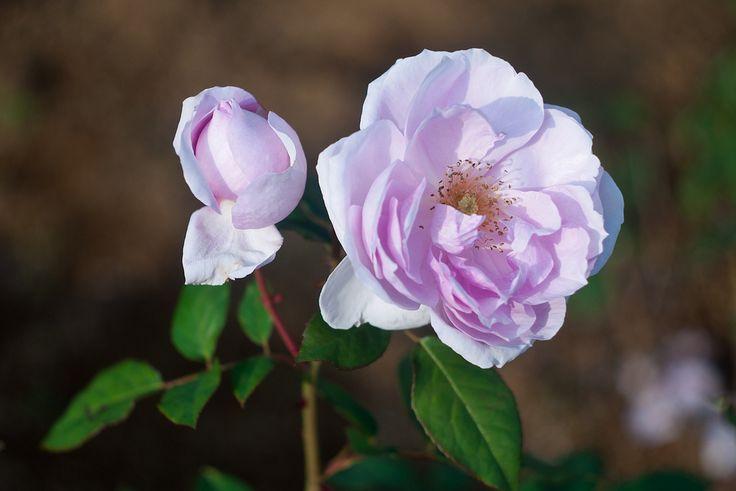 rose Cup blue eye - Tìm với Google