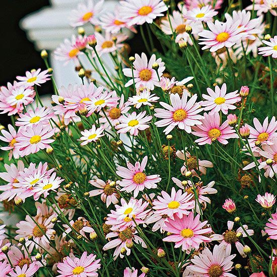 Marguerite Daisy Get detailed growing information on this plant and hundreds more in BHG's Plant Encyclopedia.