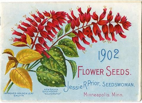 Golden-leaved salvia and Salvia splendens are featured on the cover of Jessie R. Prior's 1902 catalog.  Jessie R. Prior operated a flower seed business in Minneapolis at the beginning of the 20th century.