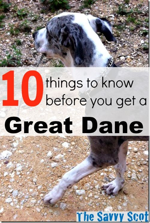 10 Things To Know Before You Get A Great Dane   Great dane