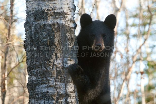 WHAT'S UP Prince Albert National Park, SK  I was fortunate to happen upon a very trusting mother black bear and her two yearling cubs while out for a hike. While mom kept an eye, the two cubs practiced their climbing skills on nearby trees. At one point one of the cubs looked right at me with a curious look and I was able to capture this image.