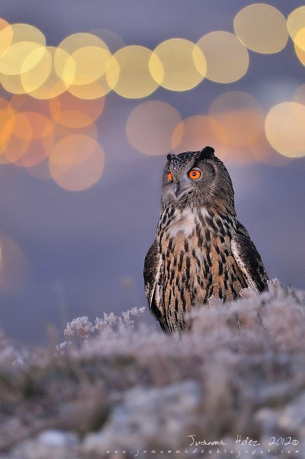 ~~Moonlight~ Eurasian Eagle-Owl by Juanma Hernández~~