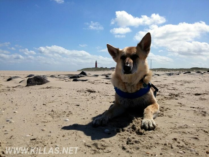#Texel #Strand #Hund #Leuchtturm #Sandstrand #bluesky #beach #Schäferhund #Meer #texelmomentje #texelpics #Niederlande #Holland #nederland #nordholland #netherlands