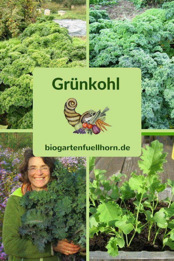 Der Anbau von Grünkohl