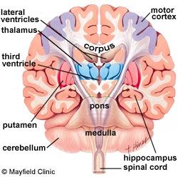 Lateral Ventricles, Third Ventricle, Corpus Callosum, pons, Medulla, Cerebellum, Spinal Cord
