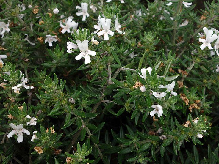1000 id es sur le th me arbuste feuillage persistant sur pinterest hortensia ilex aquifolium - Oranger du mexique feuilles jaunes ...