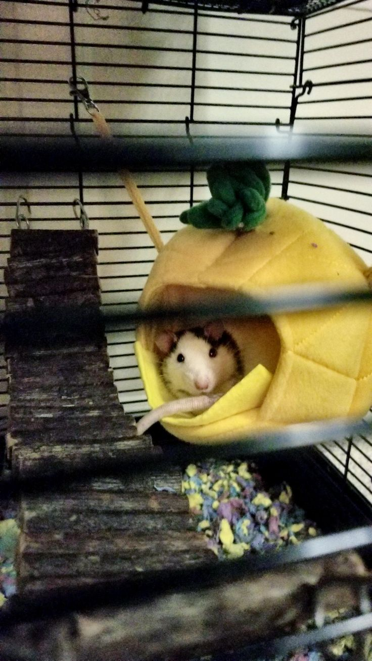 Somebody's watching me.... Indy in his hammock #aww #cute #rat #cuterats #ratsofpinterest #cuddle #fluffy #animals #pets #bestfriend #ittssofluffy #boopthesnoot