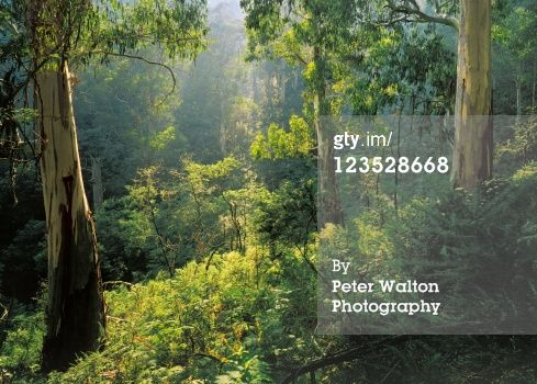 High-Res Stock Photography: Mountain Ash Eucalyptus regnans along Mt Cobbler…