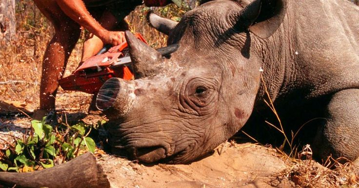 Petition: In South Africa the only predator that the adult black or white rhino has are the humans. All over Africa, especially in South Africa, hundreds of rhinos are hunted for their horns which are demanded mainly throughout Asia, where it is used in ornamental carvings and traditional medicine (Rhino horn is touted as a treatment for hangovers, cancer, and impotence). -please sign and share  9.599//14.12.15