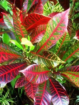 tropical plants pictures and names | Photo Gallery: The amazing colors and patterns of tropical foliage