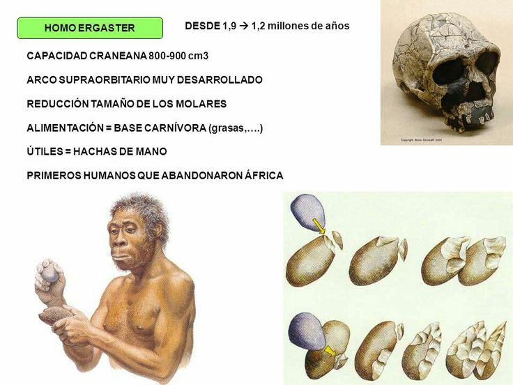 Homo ergasteres unhomínidoextinto, propio deÁfrica. Se estima que vivió hace entre 1,9 y 1,4 millones de años.