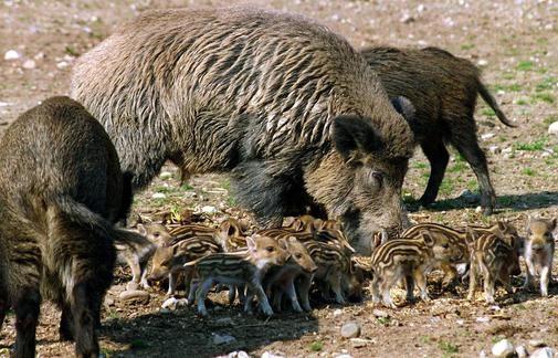 Schwarzkittel aus der Döberitzer Heide gehen auf Futtersuche – Wildschweine wüten auf Havellands Feldern