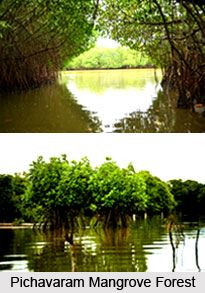 Pichavaram Mangrove Forest lies along the southeast coast of India sheltering a number of rare species of flora and fauna. It is the second largest mangrove in the world. To explore visit the page. #forest #travelindia #tourism