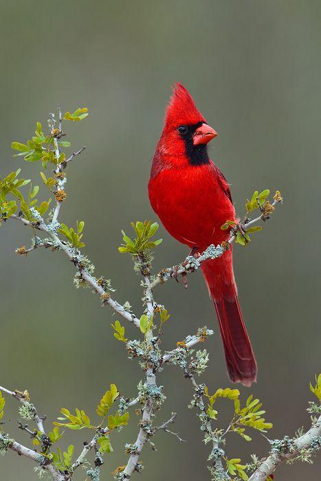 Branch Wallpaper Cute Northern Cardinal Northern Cardinal Birds Northern