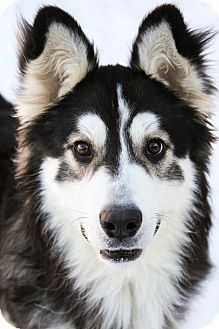 #MANITOBA ~ Rory is a 4yo Husky mix who's a happy, energetic boy &  would do well with an active family that is experienced with the Husky breed. He's in need of a loving #adopter / #rescue at WINNIPEG ANIMAL SERVICES 1057 Logan Ave #Winnipeg MB R3E 3N8 winnipegpoundpuppies@gmail.com Ph 311 or 1-877-311-4WPG