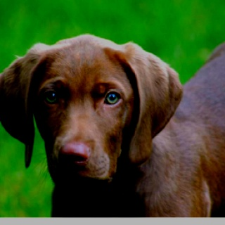 Weimaraner Lab Mix - Is This Cross Breed The Right Pup For ... |Weimaraner Lab Pit Mix