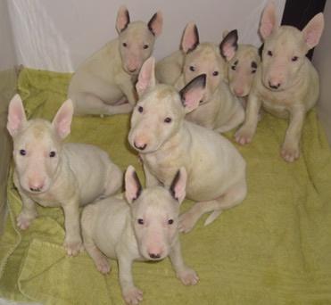 Baby Bull Terriers