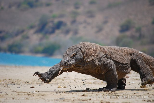 Komodo Dragon running on the beach of  Komodo Island, Indonesia. #travel2Indonesia @Indonesia Travel