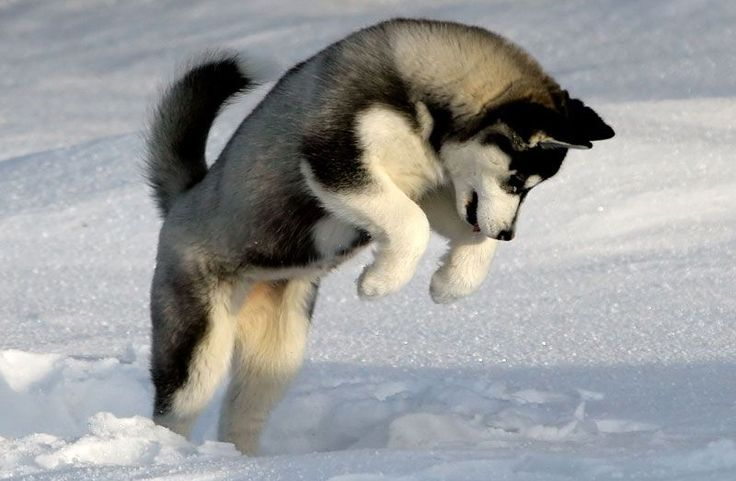 Siberian Huskies  Tags: Puppy, Facts, Funny, Face, Training, Tips, For Sale, Red, Black, White, Mix, Tattoo, Names, Colors, Photography, Grey, Blue Eyes, Brown, Wolf, Meme, Miniature, Care, Humor, Cute, Grooming, Quotes, Art, Vs Alaskan Malamute, Stuff, Drawing, Information, And German Shepard, Shedding, Clothes, Full Grown, Toys, Agouti, Accessories, Golden Retriever, Christmas, Wallpaper, Illustration, Watercolor, Logo, Size, Sketch, Pictures, Vector, Long Hair, Food, Cartoon, Gray, Baby…