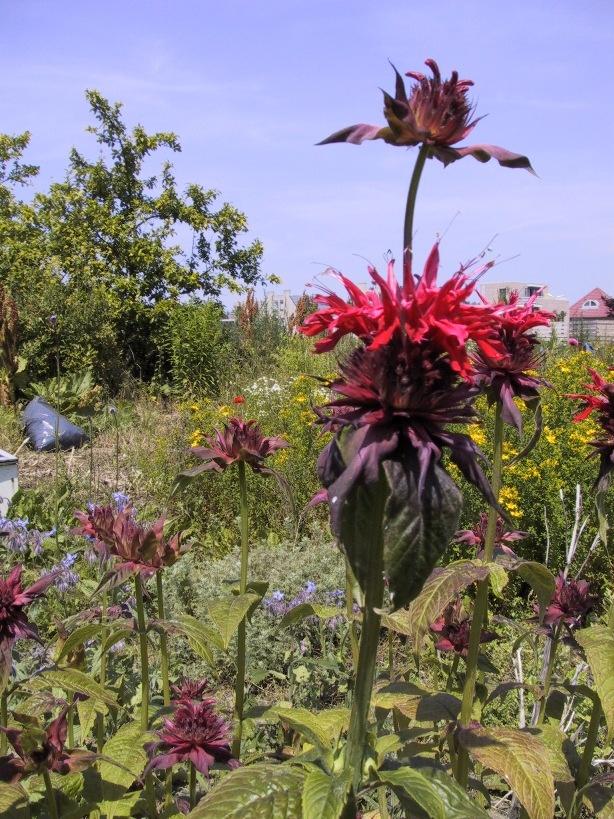 Bergamot is een plant die graag op een lichte grondsoort staat en heeft ruimte nodig. Bergamot kan gebruikt worden bij nier problemen vooral als deze samen gaan met negatieve emoties.