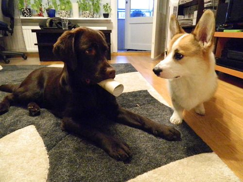 Corgi + Lab puppy =  temporary chaos :)
