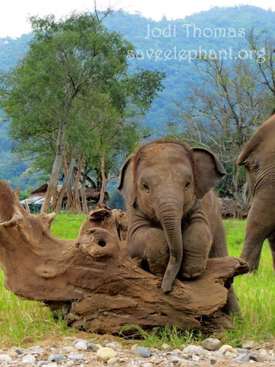 Navaan, almost a year old. Photo by Jodi Thomas, Elephant Nature Park, Thailand