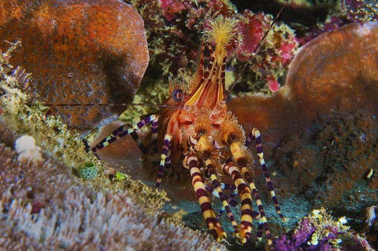 Saron Shrimp . Critters @ Celebes Divers