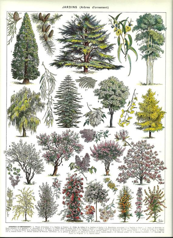 Antique ORNAMENTAL TREES 1 - Vintage french dictionary Print - 1930. $14.00, via Etsy.