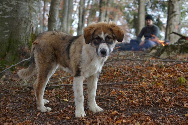 My Romanian carpathian shepherd dog, 5 months old.