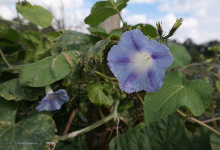 Ipomoea = maanbloem/ zoete aardappel, uit de windefamilie. Het is een overblijvende klimplant die tot 5 m. kan klimmen.