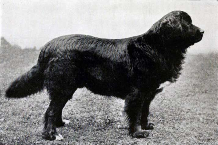 1908: Shelton Viking, Newfoundland