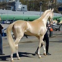 sparklehorse: Beautiful Horses, Natural Metals, Metals Shimmer, Horses Breeds, Color, Akhal Bowling, Akhaltek, Weights Loss, Hors Breeds