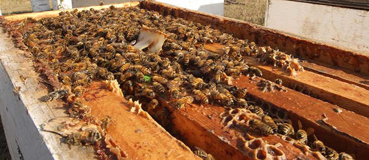 """Scientists with the Pest Management Regulatory Agency said there was """"no potential risk to bees"""" from seed treated with imidacloprid, a Bayer product sold under the name Gaucho. 