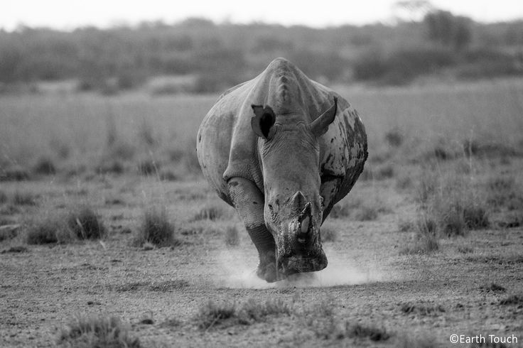 charging rhino pictures | On the charge | When a rhino's in a hurry, you don't want to… | Flickr