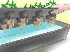 How to Grow Hydroponic Strawberries -- via wikiHow.com