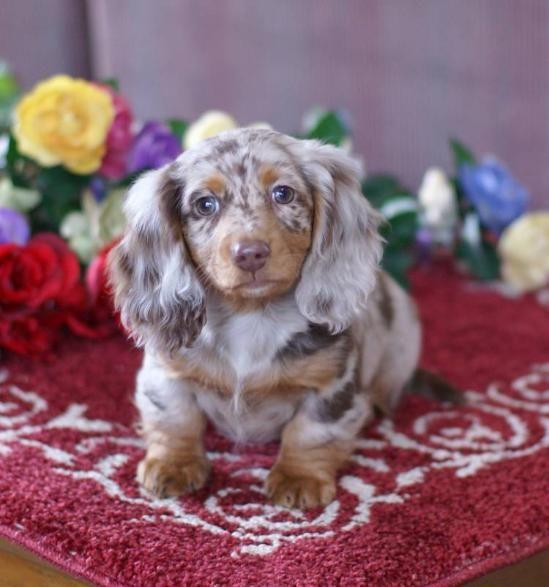 Blue Merle Weiner Dog For Sale