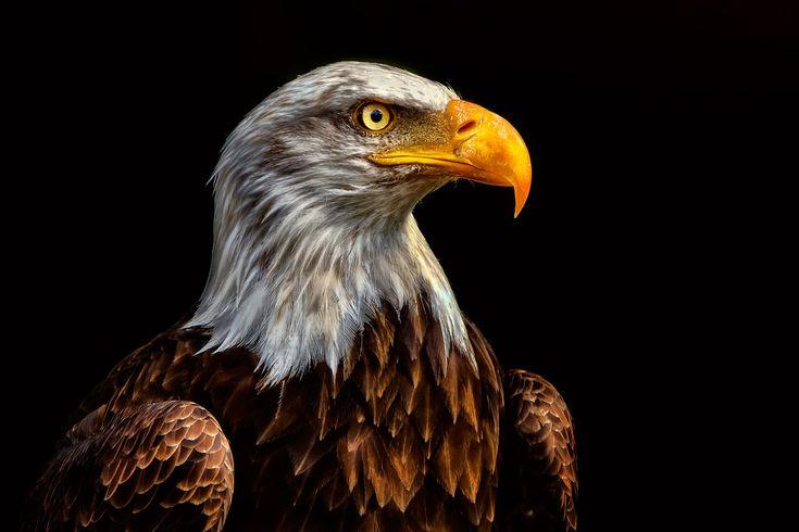 """Weißkopfseeadler""  Adler - white-headed-eagle  .  Animal Photography Artwork"