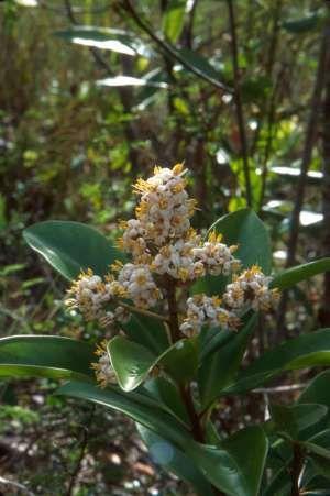 Marlberry Ardisia escallonioides