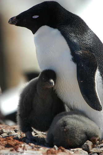 It's #PenguinLove.  Help protect their home - adopt a penguin with WWF http://www.wwf.org.uk/adoption/penguin/?utm_source=pinterest&utm_medium=social&utm_campaign=adoption&pc=ANZ008010