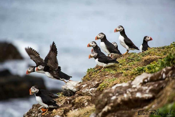 Puffins.... The life in Skagway, Alaska. | My Guru | Pinterest