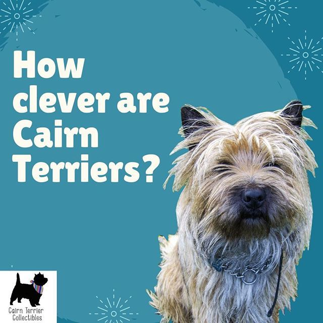 Cairn Terrier Image By Martha Watson On Cairn Crazy In 2020 Dog