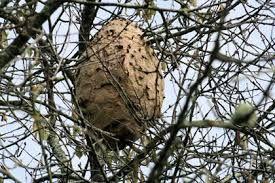 la tombée des feuilles fait découvrir des nids de Frelons asiatiques