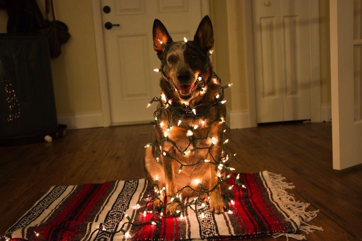 191 Best Images About Dogs Wrapped In Christmas Lights On