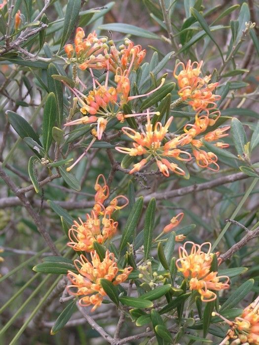 Grevillea olivacea 'Apricot Glow'. A local orange coloured Grevillea that is perfect for coastal soils - (existing plant)