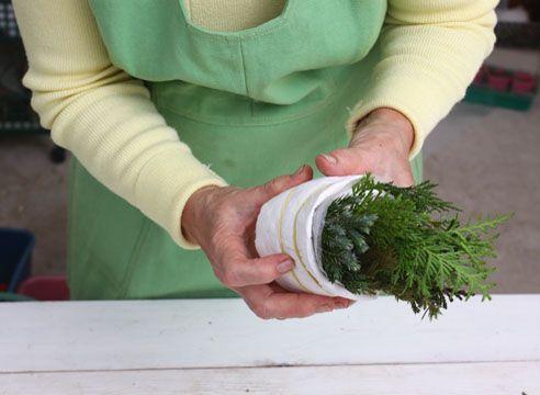 Зимой вы можете укоренить черенки хвойных в домашних условиях, а весной посадить их в сад. Хорошо укореняются можжевельник, кипарисовик и особенно туя.