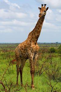Żyrafa - puzzle on-line