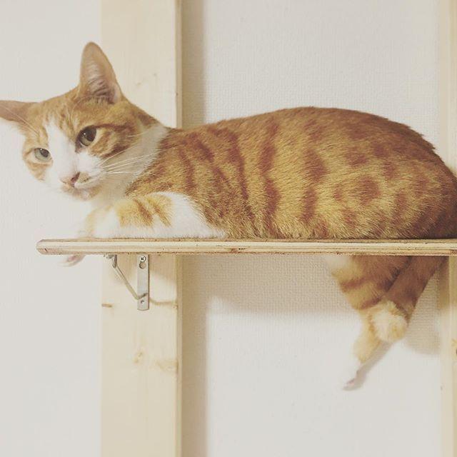 短足?short legs? #cat  #cats  #cute #catlovers #catbrothers #catsofinstagram #catsofworld #catstagram  #petstagram #instagramjapan #ねこ #ネコ #猫 #にゃんすたぐらむ #鍵しっぽ #元野良 #猫部 #猫好き #愛猫 #ねこすたぐらむ #保護猫 #家猫修業 #chasey #チャシー #茶白 #茶トラ #ハチワレ #くつした猫 #ヒョウ柄 #でぶ